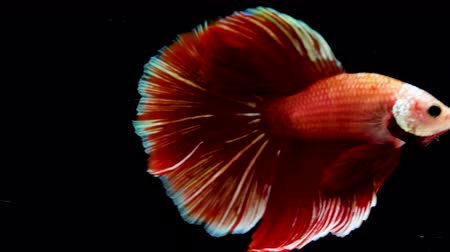 siyam : Colorful Siamese Halfmoon Fighting Betta Fish Red Color