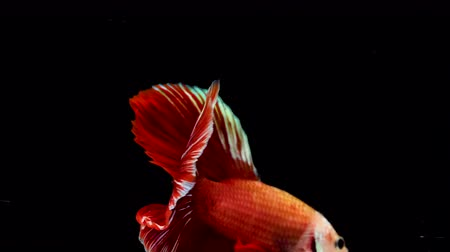 ploutve : Colorful Siamese Halfmoon Fighting Betta Fish Red Color
