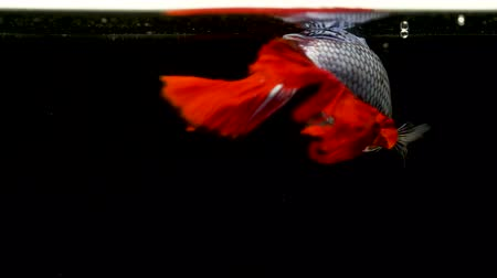 siamese fighting fish : Colorful Siamese Halfmoon Fighting Betta Fish White Red Color black background