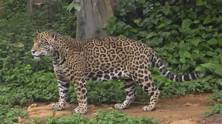 subspecies : Leopard playing walking in forest