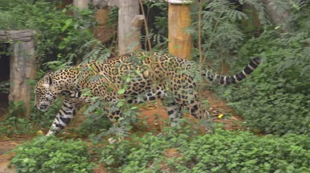 ヒョウ : Leopard playing walking in forest