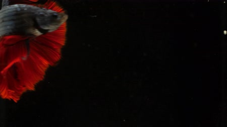 sziámi : Colorful Siamese Halfmoon Fighting Betta Fish White Red Color black background