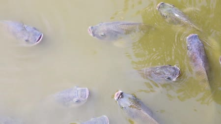 рыболовство : Tilapia fish swimming in the pond