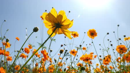 margaréta : Yellow Sulfur Cosmos Flower Blooming in a Garden Background Sunlight and Blue Sky
