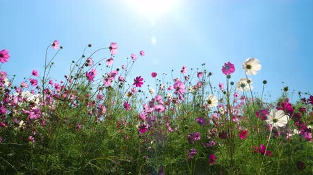 százszorszépek : Pink Cosmos Flower Blooming in a Garden Background Sunlight and Blue Sky Stock mozgókép