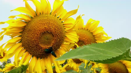 подсолнухи : Beautiful sunflowers background blue sky in farming