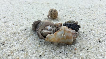 rejtekhely : Hermit crab video is walking on the sand Sea .