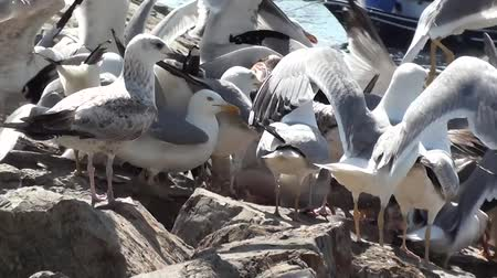 cümbüş : Hungry seagulls fighting for food Stok Video
