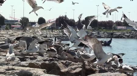 cümbüş : Seagulls quarrel with for food