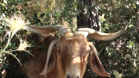 billy goat : Goat is approaching to camera