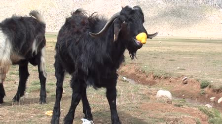 billy goat : Goat eating out lemon peel Stock Footage