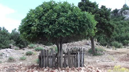 Paled fig tree in the countryside Vídeos