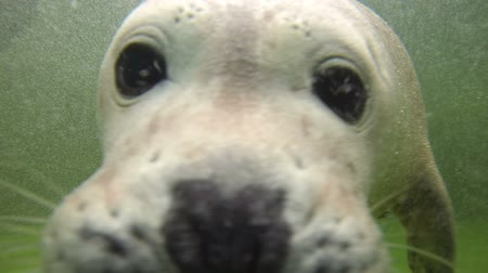 pecsét : Baby Harbor seal pose for the video camera underwater