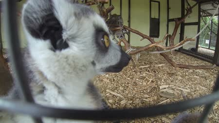 primaz : Group of Madagascar Mongoose Ring-tailed Lemurs (Lemur catta) crawling on the cage fence and looking in the action camera