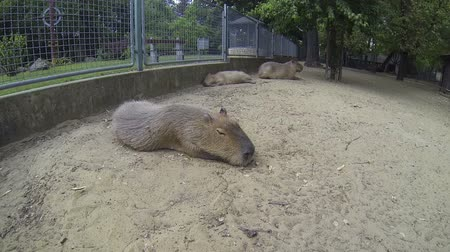 býložravý : Big brown capybaras, biggest rodents, sleeping outdoors on a cloudy summer day