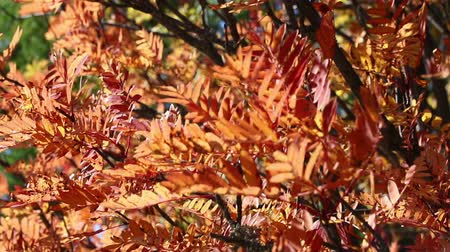 древесный : Orange autumn leaves of Mountain ash tree (also known as Rowan or Sorbus aucuparia) waving on the wind. Trees in autumn forest. Autumn Scene footage