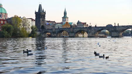 čeština : Swans on Vltava river in Prague, Czech Republic. Charles Bridge on the background. FullHD video