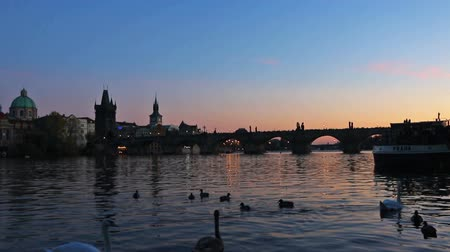 mala : Swans on Vltava river in Prague, Czech Republic. Charles Bridge on the background. Evening view. FullHD video