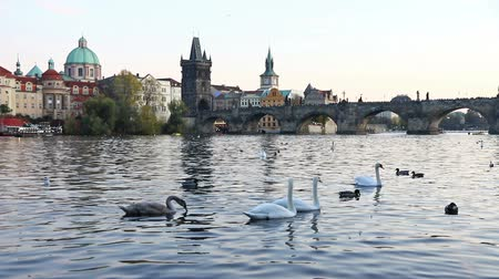 Čechy : Swans on Vltava river in Prague, Czech Republic. Charles Bridge on the background. FullHD video