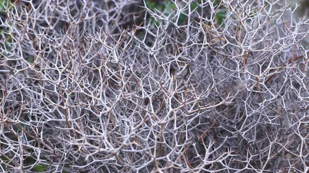 древесный : Close-up view of dried Launaea arborescens plants. Woody base shrub, dense and intricate, very branched in a zigzag shape, laticiferous, with spiny appearance after the fall of chapters. FullHD video