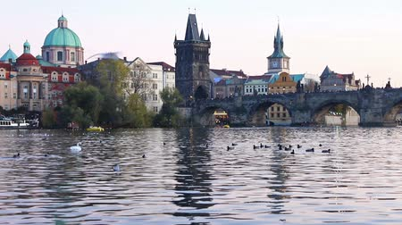 Swans on Vltava river in Prague, Czech Republic. Charles Bridge on the background. FullHD video