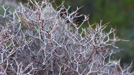 nedvdús : Close-up view of dried Launaea arborescens plants. Woody base shrub, dense and intricate, very branched in a zigzag shape, laticiferous, with spiny appearance after the fall of chapters. FullHD video