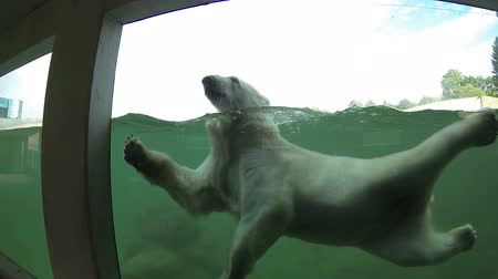 Polar bear (Ursus maritimus) swimming underwater and looking through the window. FullHD video