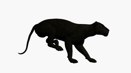 кошачий : Black leopard running on a white background