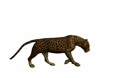 кошачий : Leopard walking on a white background