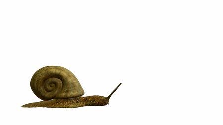 salyangoz : Snail walking on a white background