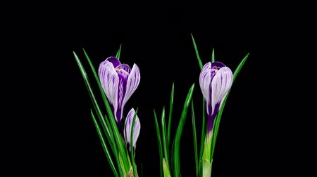 сухой : Timelapse of several violet crocuses flowers blooming and fading on black background