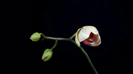 orchideák : Timelapse of orchid flower blooming on black background close up