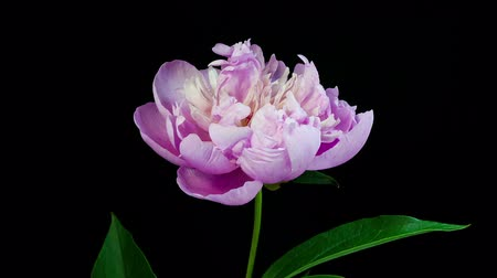 flower : Timelapse of pink peony flower slowly blooming on black background