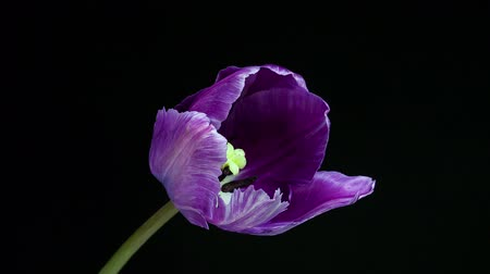 цветение : Timelapse of violet tulip flower blooming on black background