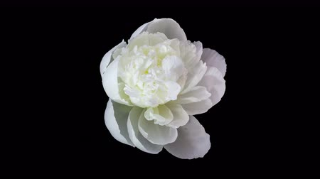 flower : Timelapse of white peony flower blooming on black background in 4K Stock Footage