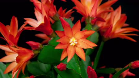 kaktusz : Timelapse of red Easter Cactus flower opening and closing on black background in 4K Stock mozgókép