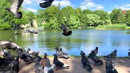 běžný : Pigeons eating seed from the hand. People feeding urban pigeons in green park. A flock of pigeons eating corn grain and bread near river. Group of wild birds are eating and flying.