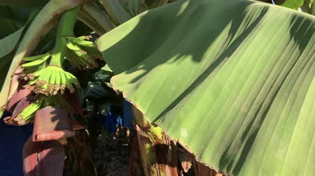 banan : Green banana plantations on a sunny day, slow view on the green to the leaves and fruit of banana Wideo