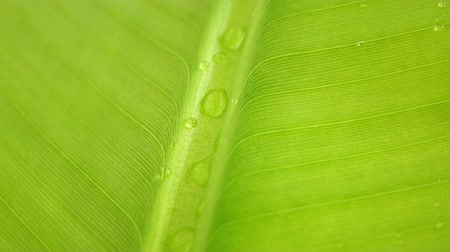 folha : Raindrops on a Banana Leaf Stock Footage