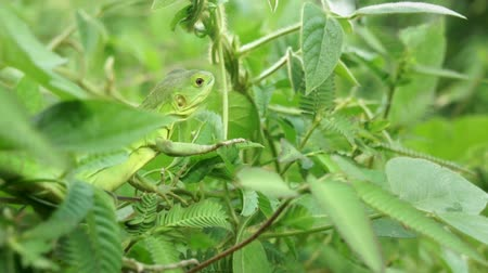 réptil : Lizard sitting in tree branches