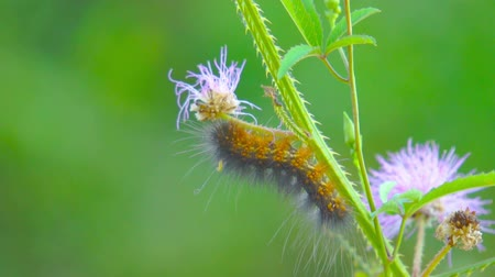 owady : Butterfly Caterpillar