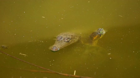 krokodil : Small Crocodile and Turtle swimming in a swamp