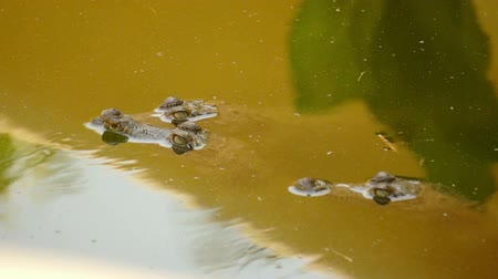 pantanal : Small Crocodiles swimming in a swamp  Stock Footage