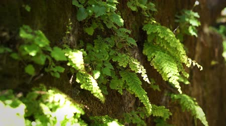 kapradina : Green fern blowing in the wind