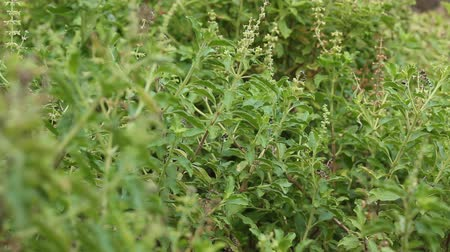herbal : Basil planted forests natural non-toxic smell Thailand Food