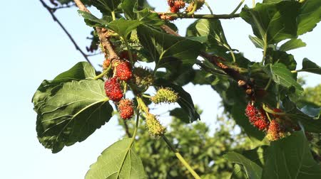 dut : Mulberry leaves