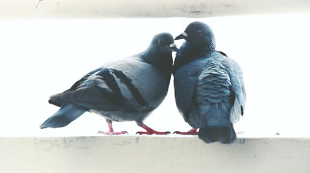 прижиматься : A pair of pigeons snuggle on wall. Outdoor at daytime with bright sunlight on summer day. Vintage film filter effect tones. Cinematic style.