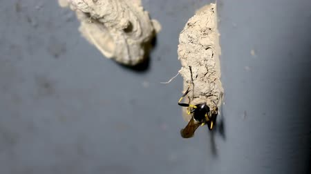 hoverfly : Ceriana wasp or Wasp-mimic hoverfly building its nest.