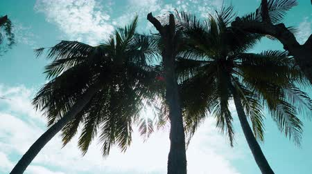 High coconut tree and the bright sunlight in the daytime, the sunray shining.Tilt camera movement from bottom to top.4K UHD