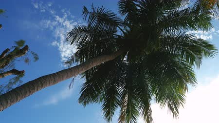 High coconut tree and the bright sunlight in the daytime, the sunray shining. low angle and Tracking shot around coconut tree. 4K UHD